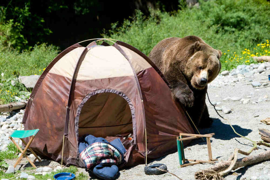 Bear Near a Tent at a Campsite