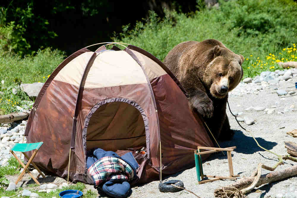 Bear at a Campsite