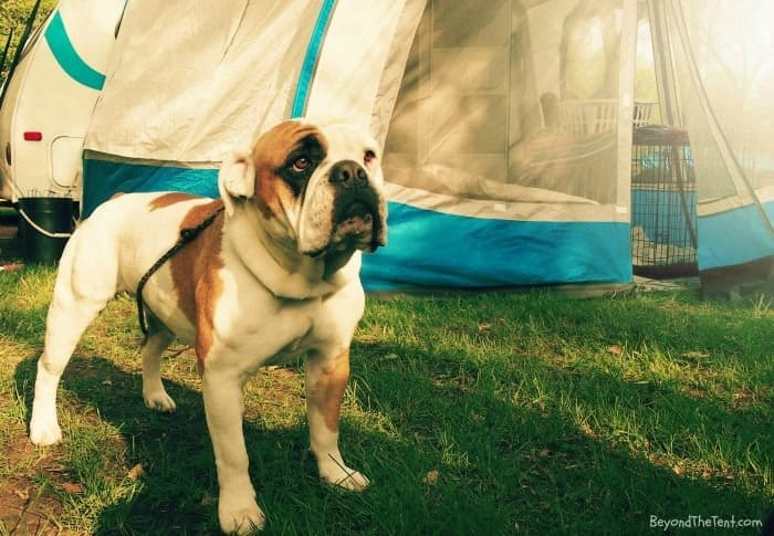 Dog standing near a tent at a campground.