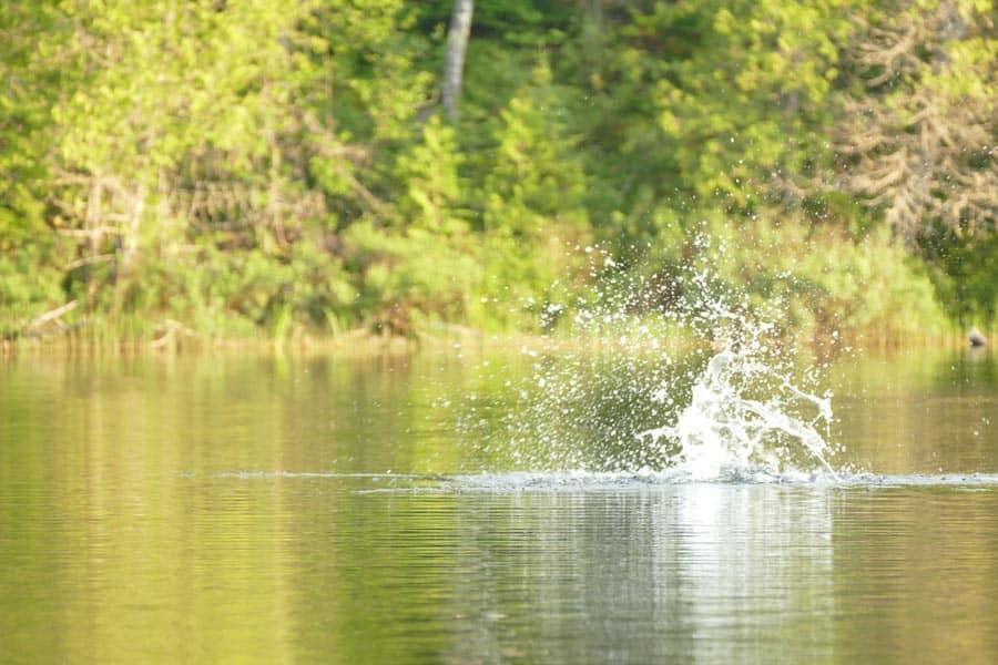 Beaver-Tail-Splash