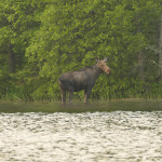 The Moose We Saw in the Boundary Waters Canoe Area Wilderness.