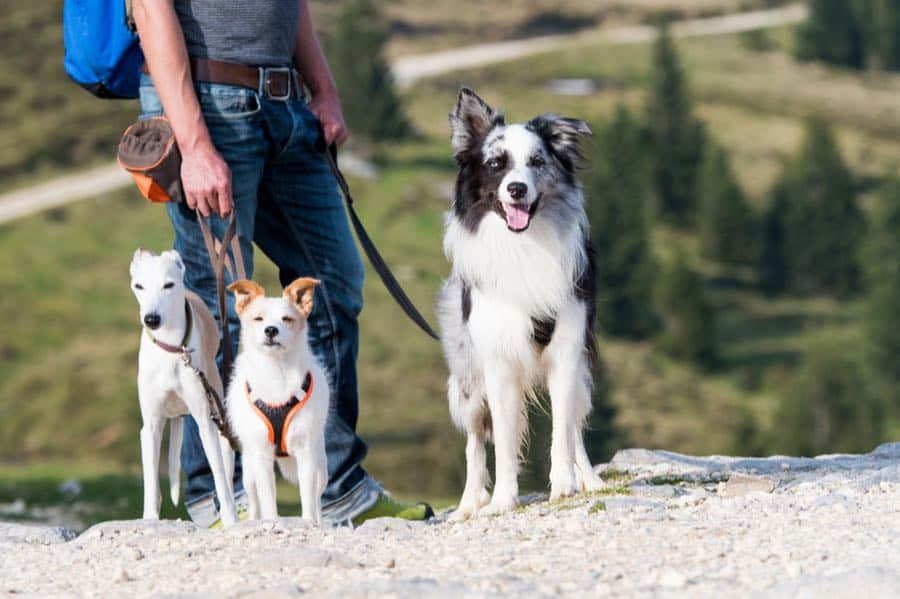 Three Dogs on a Hike
