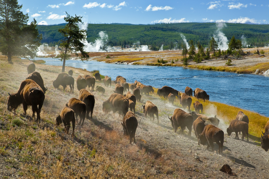 Bison Near River in Yellowstone National Park