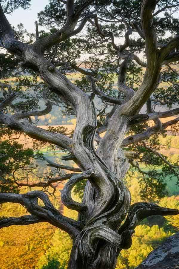 Twisted Tree outside of Lodi Wisconsin