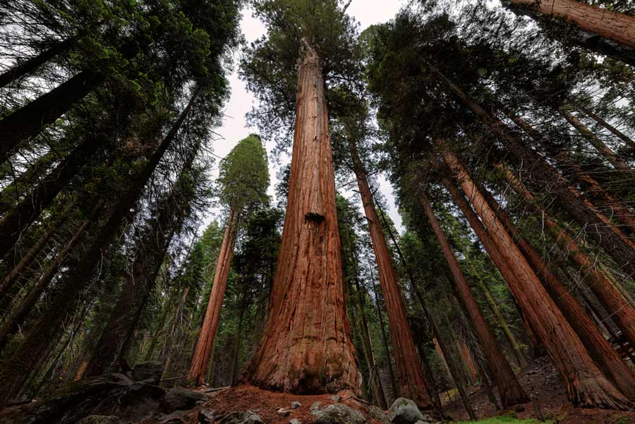 Giant Sequoia Trees, Sequoia National Park, California