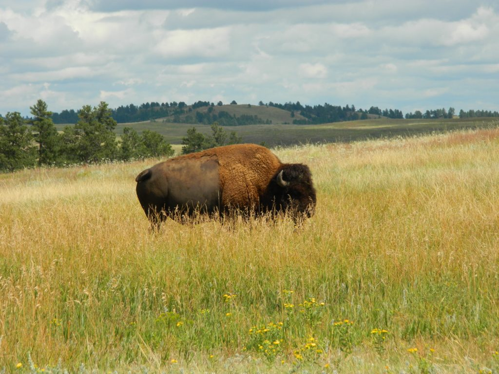 A Bison Roaming in Custer State Park