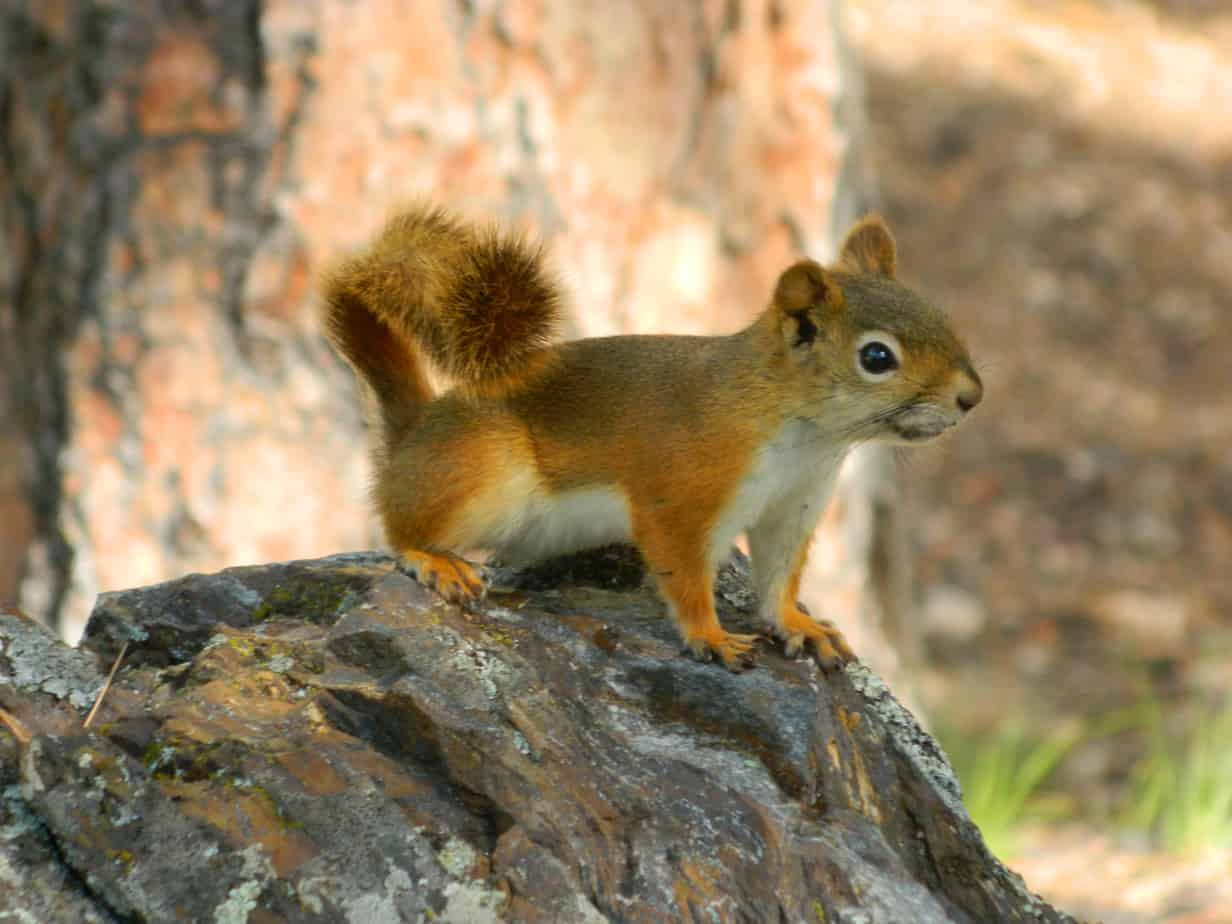 Chipmunk in the Black Hills