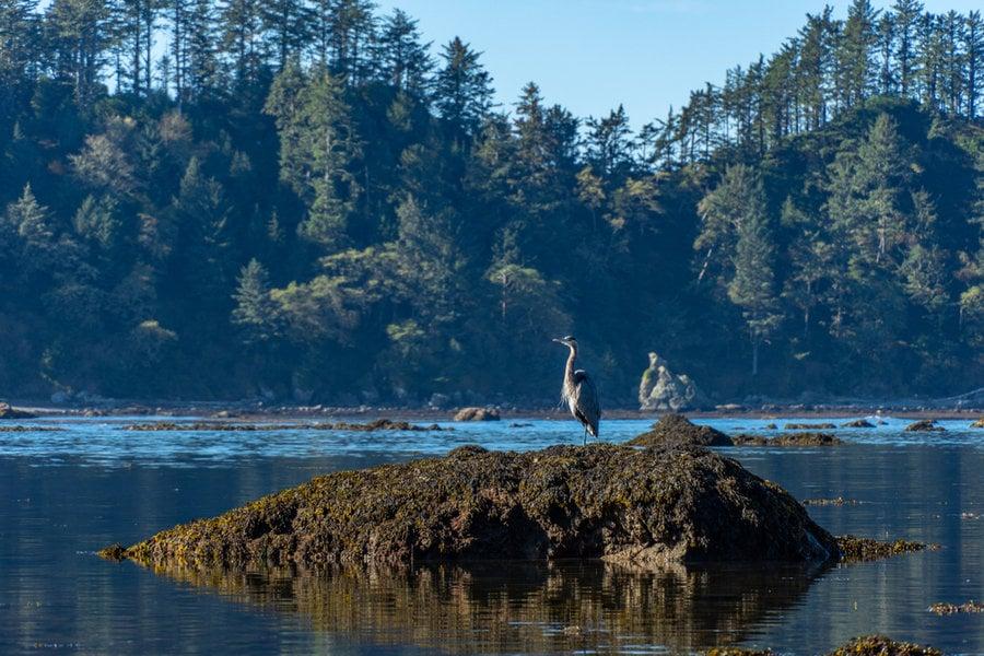 Blue Heron on Rock near Lake Ozette