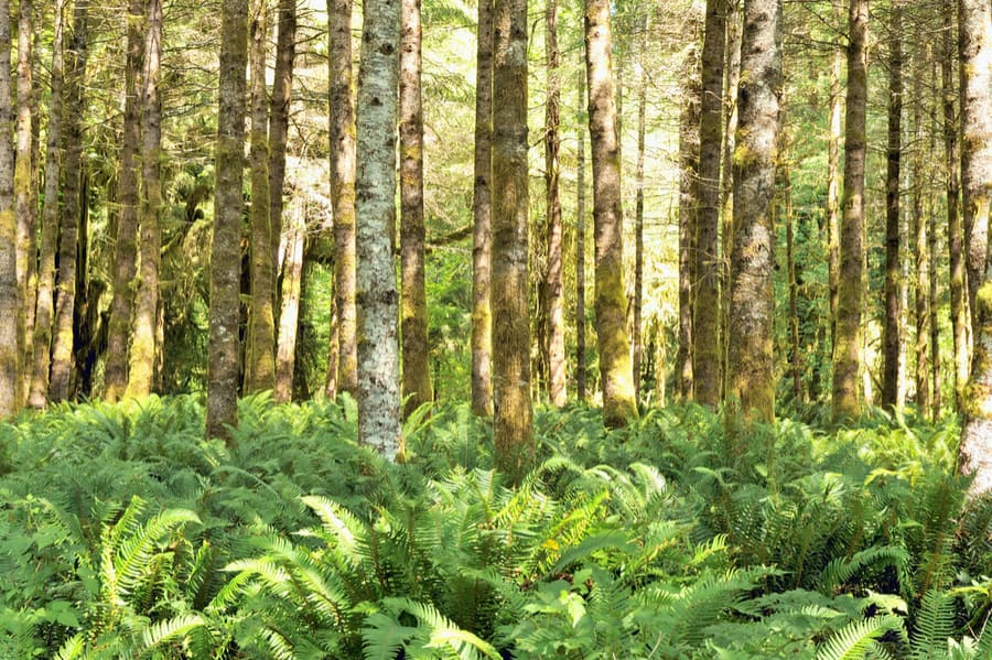 Skinny Trees, Ferns, and Moss on Olympic Peninsula