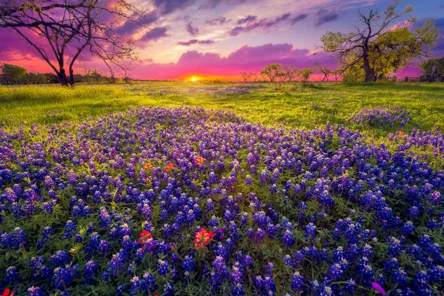 Beautiful purple bluebonnet blooms in Texas at sunrise.