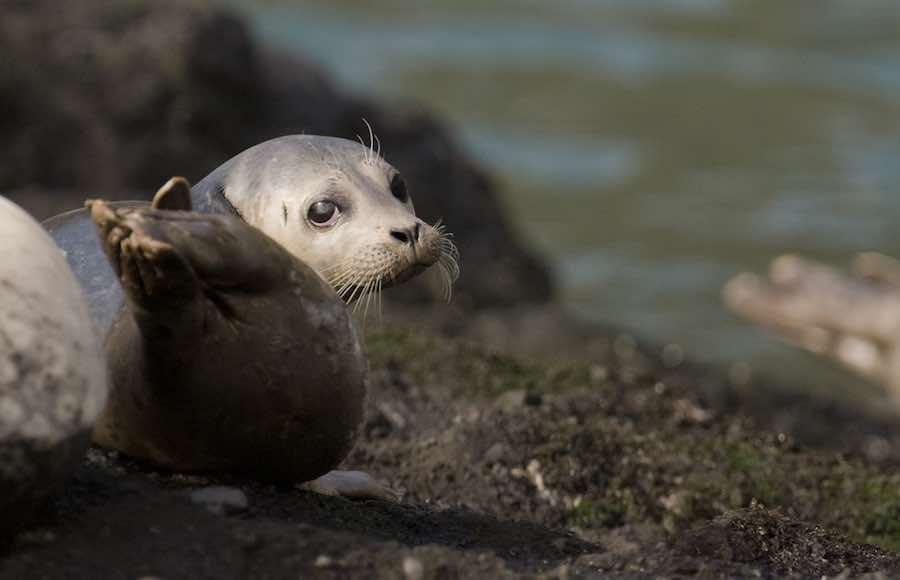 Harbor Seal in Oregon