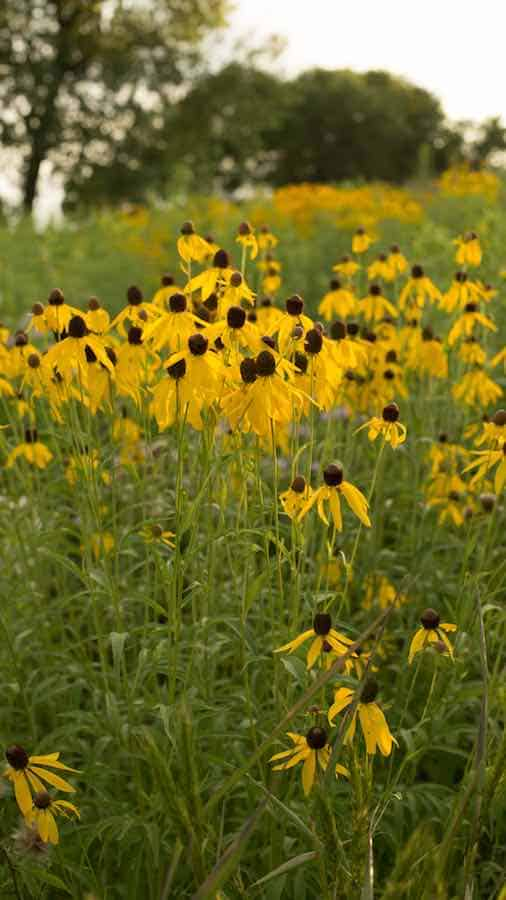 Yellow coneflowers in an open field at dusk in Lake Anita State Park in Iowa