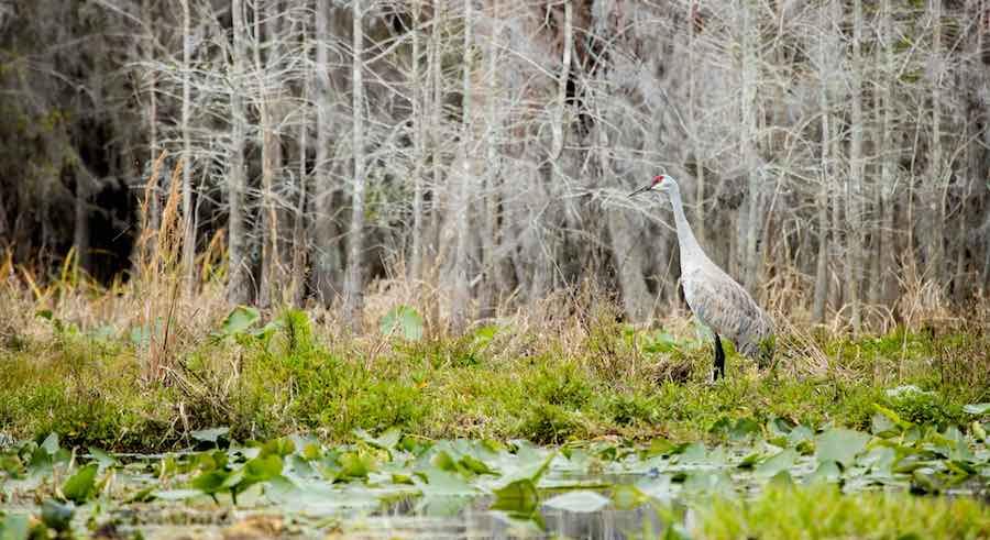 Sandhill crane in the Okefenokee National Wildlife Refuge, Georgia