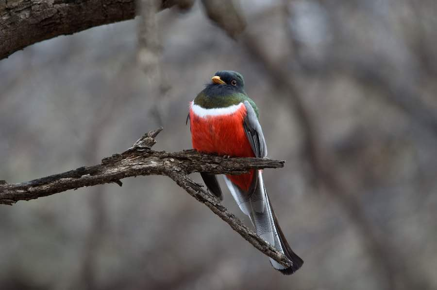 Elegant Trogon at Patagonia Lake State Park