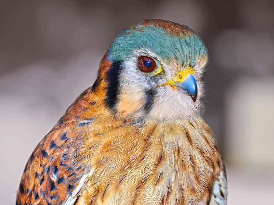Female Peregrine Falcon native to Arizona