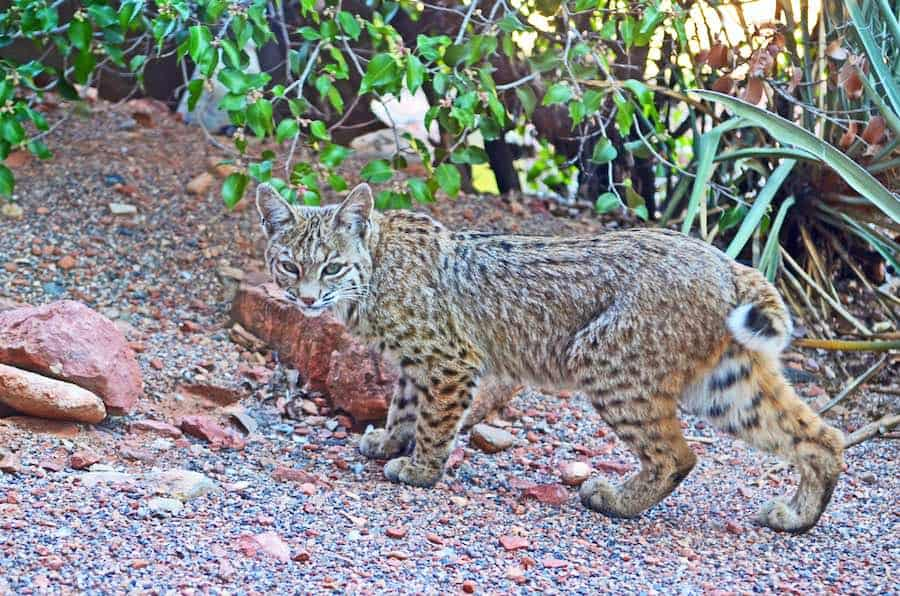 Bobcat (Lynx Rufus) on the prowl in Arizona