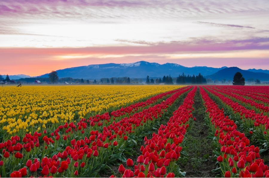 Colorful Tulip Fields at Skagit Valley Tulip Festival