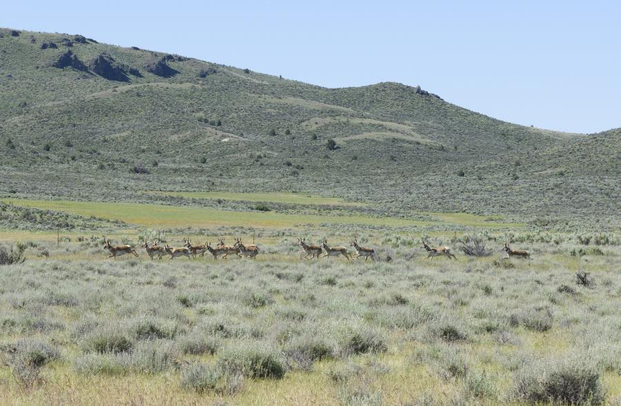Antelope in Malheur National Wildlife Refuge