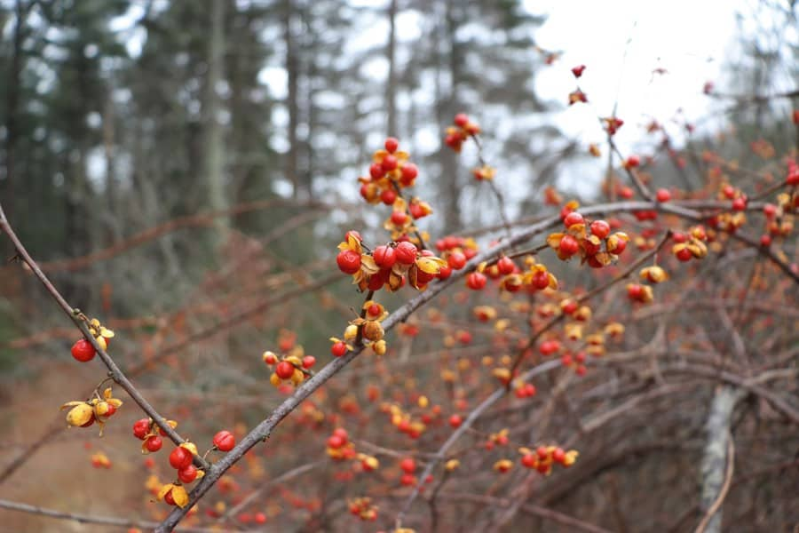 Red Winter Berries in Harold Parker State Forest