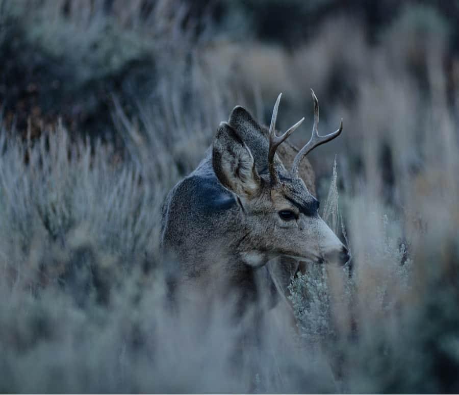 Mule Deer Near Crouch Idaho