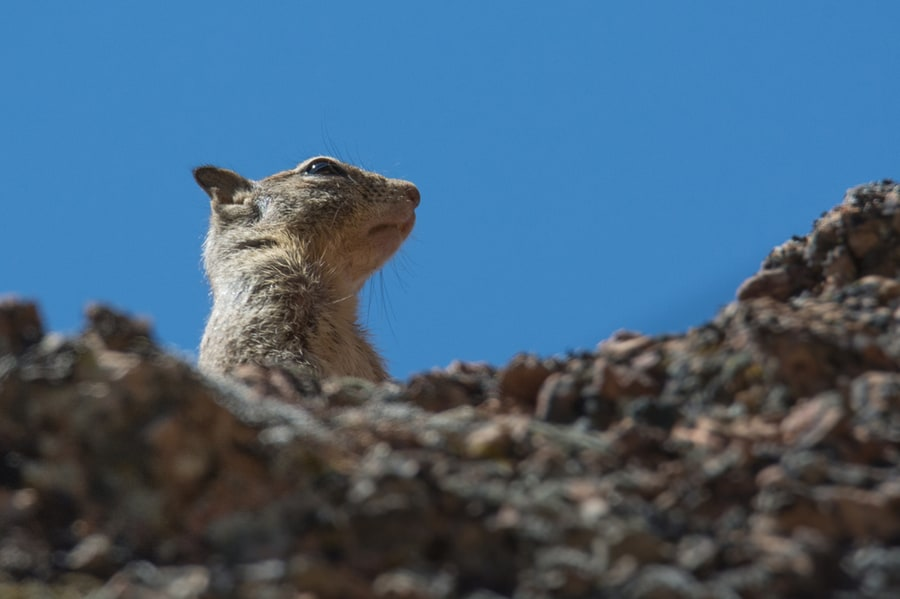 Ground Squirrel on Juniper Canyon Trail in Pinnacles National Park