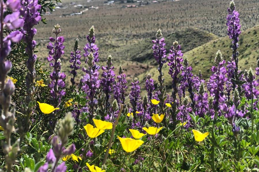Flowers in Borrego Springs