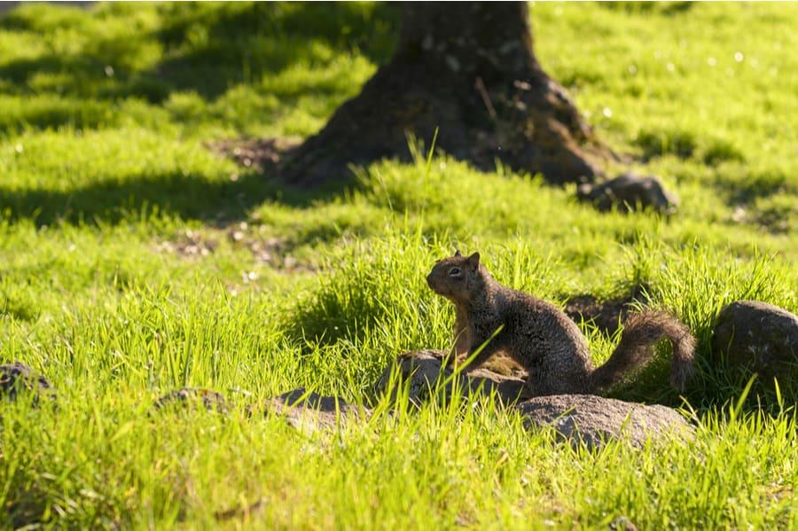 Ground Squirrel at Potwisha Campground