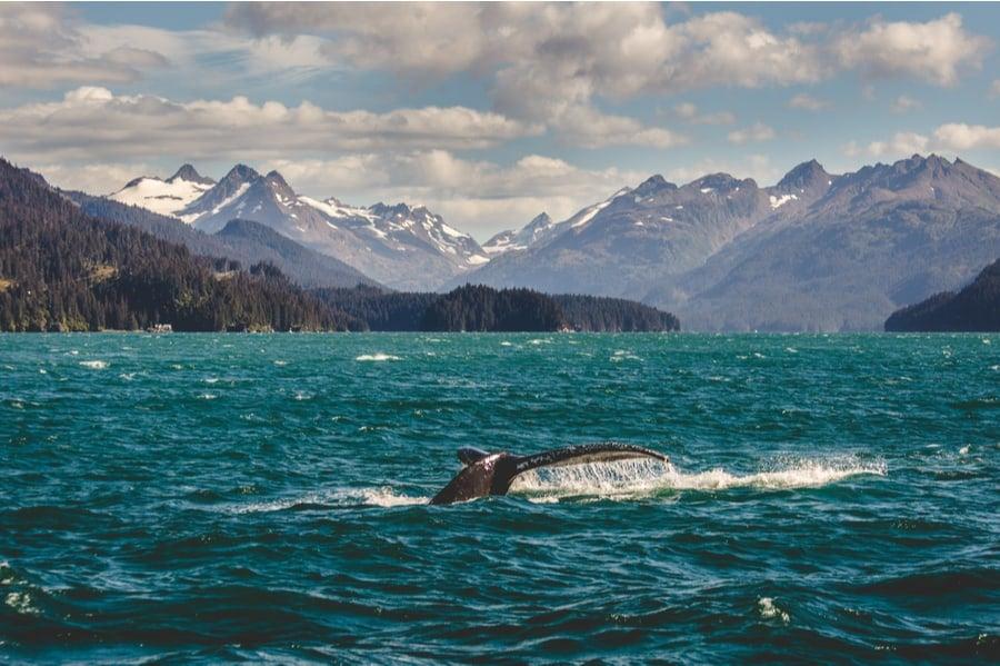 Whale Near Homer, Alaska
