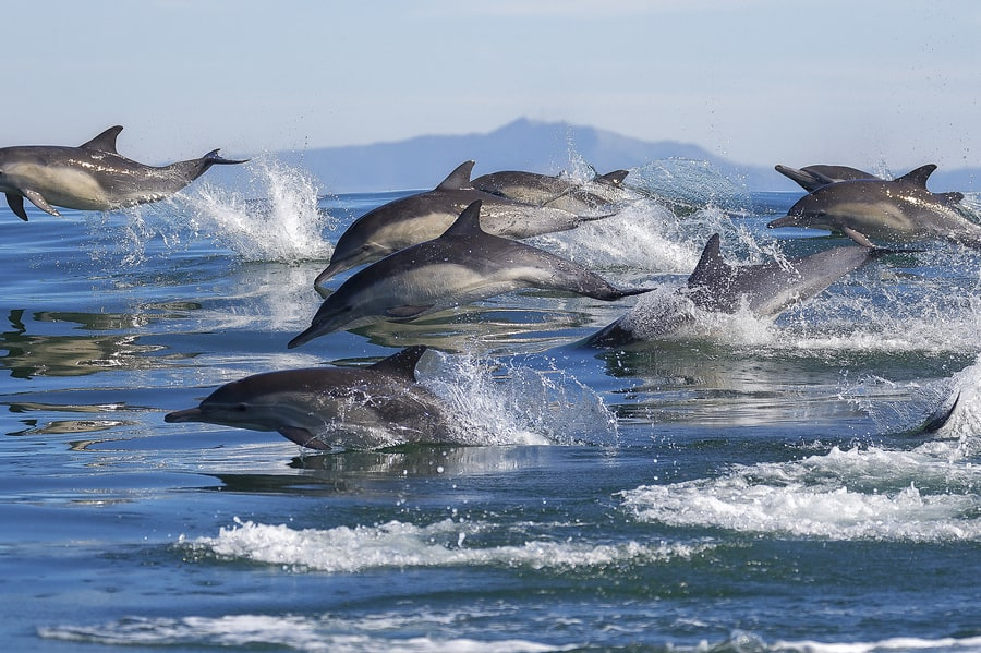 Dolphins in Monterey