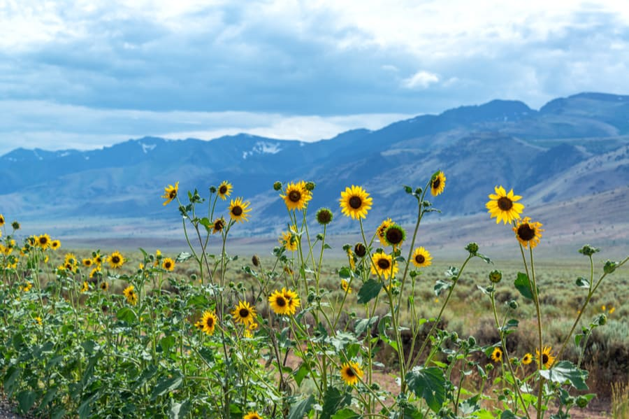 Sunflowers in Burns Oregon