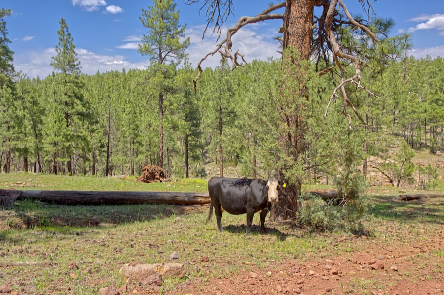 Cow Grazing in Coconino National Forest