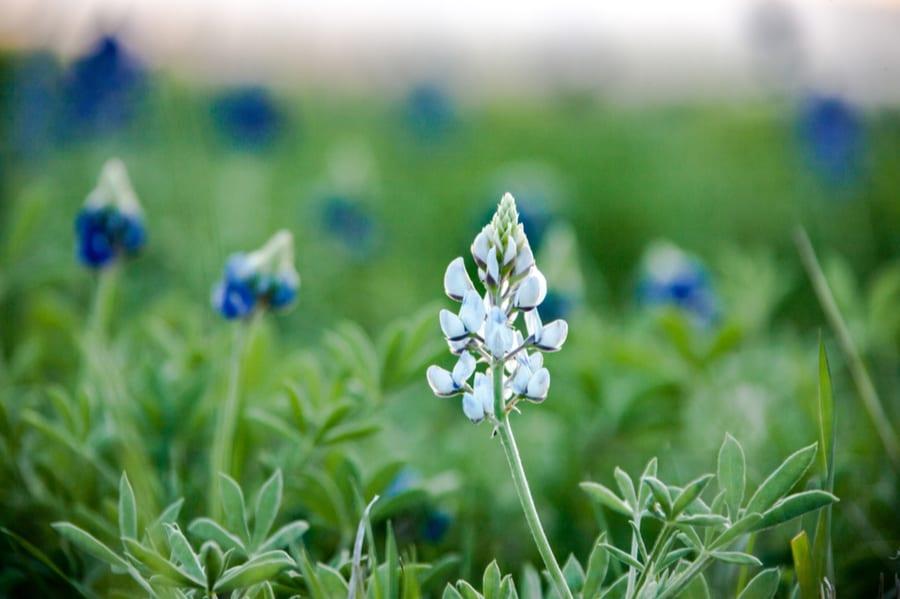 Bluebonnets Near Elgin Texas