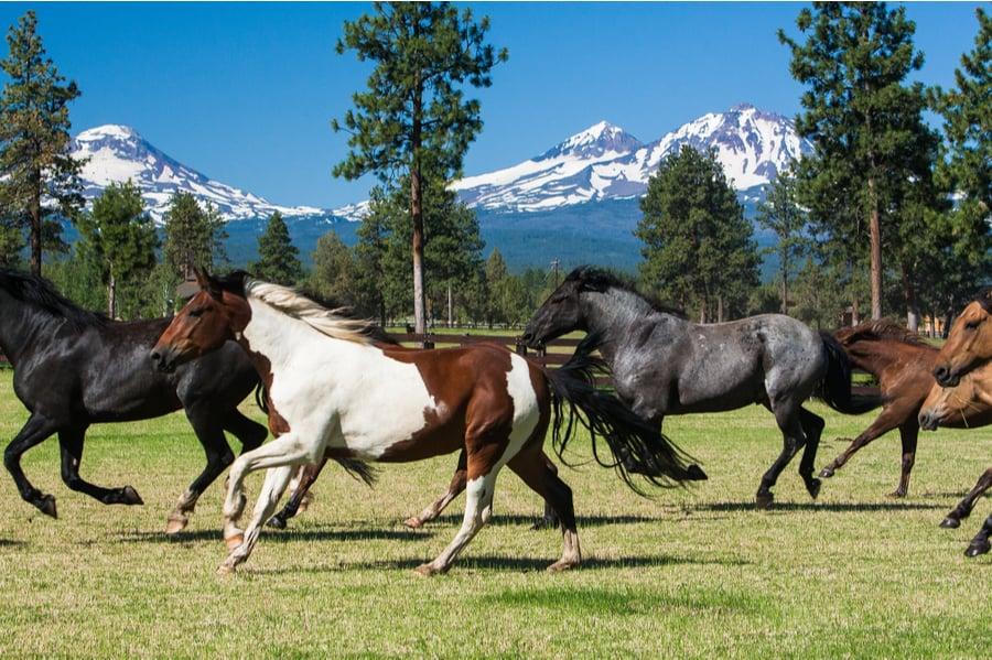 Horses Galloping Near Sisters Oregon