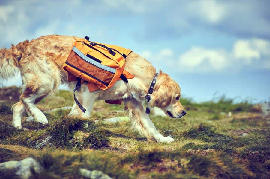 Dog Wearing Doggie Backpack