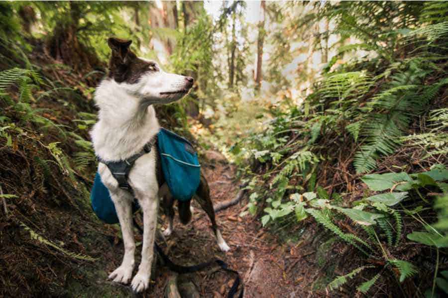 Border Collie Wearing a Dog Backpacking Backpack