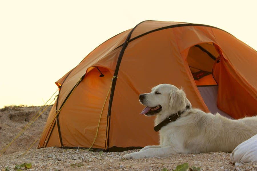 Dog By Camping Tent