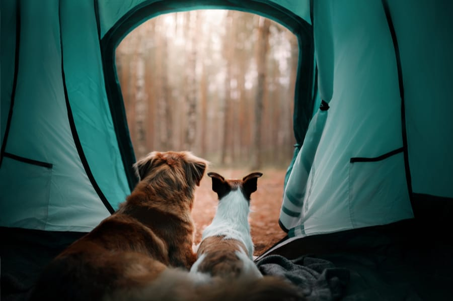 Two Dogs in a Camping Tent