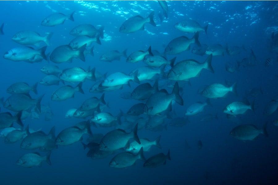 School of Bermuda Fish