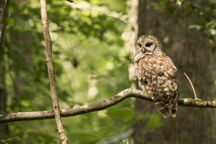 Barred Owl in Congaree National Park