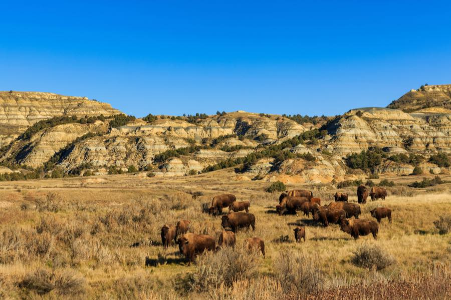 Bison in Theodore Roosevelt National Park