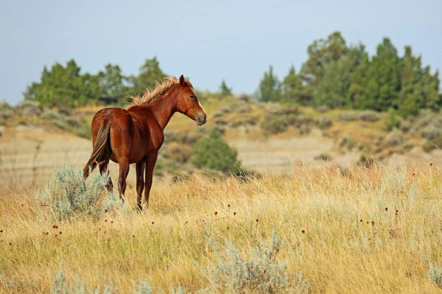 Horse in Theodore Roosevelt National Park