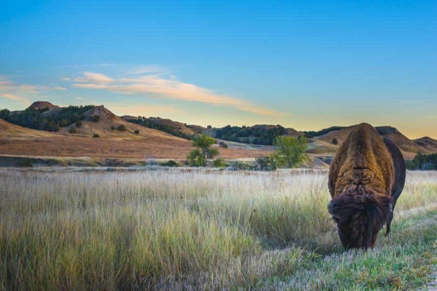 Bison in Badlands National Park